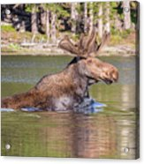 Bull Moose Goes For A Swim Acrylic Print
