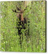 Bull Moose Guards The Aspen Acrylic Print