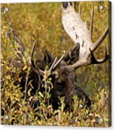 Bull Moose In Hiding Acrylic Print
