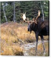 Bull Moose In Stream Acrylic Print by Natural Selection Bill Byrne