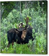 Bull Moose In The Bushes Acrylic Print