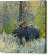 Bull Moose In The Evening Acrylic Print