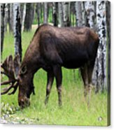 Bull Moose In The Woods  Acrylic Print