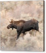 Bull Moose On The Run Acrylic Print