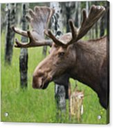 Bull Moose Portrait Acrylic Print by Cathy  Beharriell