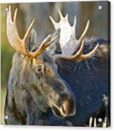 Bull Moose Up Close Acrylic Print
