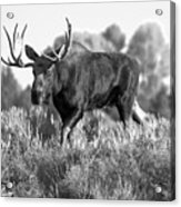 Bull On A Blue Sky Day Black And White Acrylic Print