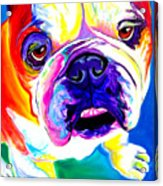 Bulldog - Stanley Acrylic Print