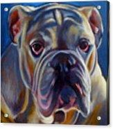 Bulldog Expression 2 Acrylic Print