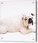 Bulldog Laying Acrylic Print