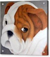 Bulldog Puppy Acrylic Print