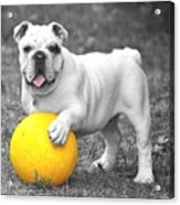 Bulldog Soccer Acrylic Print