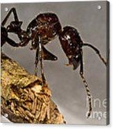 Bullet Ant Acrylic Print