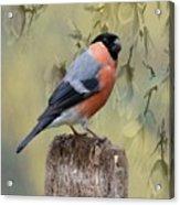 Bullfinch Bird Acrylic Print