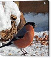Bullfinch In The Snow Acrylic Print