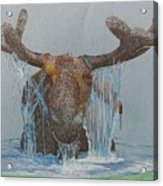 Bullwinkle Acrylic Print