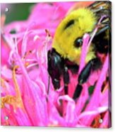 Bumble Bee And Flower Acrylic Print