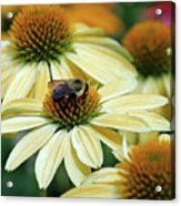 Bumble Bee At Work Acrylic Print