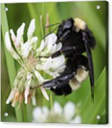 Bumble Bee By The Pond Acrylic Print