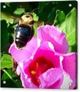 Bumble Bee Flying To Flower Acrylic Print