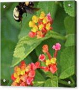Bumble Bee In Flight Acrylic Print