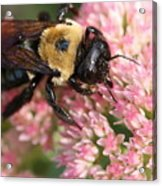 Bumble Bee Macro Acrylic Print