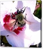 Bumble Bee Making His Escape From Hibiscus Flower Acrylic Print