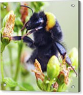 Bumble Bee On Flower Acrylic Print
