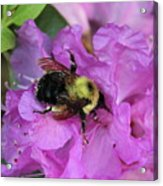 Bumble Bee On Rhododendron Blossoms Acrylic Print