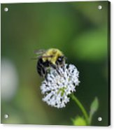 Bumble Bee On White Wild Flower On Banks Of Tennessee River At Shiloh National Military Park Acrylic Print