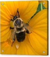 Bumble Bee On Yellow Nasturtium Acrylic Print