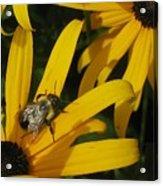 Bumble Bee Sitting On Black-eyed Susan Acrylic Print