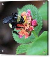 Bumble Bee Square Acrylic Print
