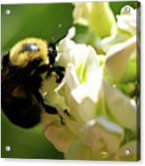 Bumble Bee Acrylic Print by Valeria Donaldson