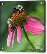 Bumble Bees At Work Acrylic Print