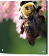 Bumble From Above Acrylic Print