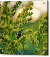 Bumblebee And Canadian Goldenrod 15 Acrylic Print