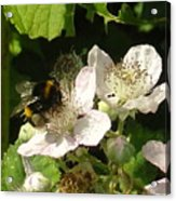 Bumblebee Acrylic Print