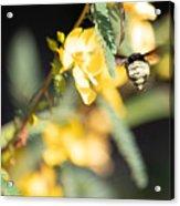 Bumblebee Heading Into Work Acrylic Print
