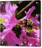 Bumblebee In Azalea Acrylic Print