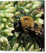 Bumblebee In The Land Of Petals Acrylic Print