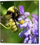 Bumblebee On A Blue Giant Hyssop Acrylic Print