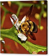 Bumblebee On A Hardy Orange Blossom 002 Acrylic Print