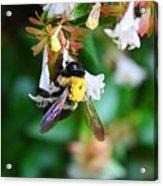 Bumblebee On Abelia Acrylic Print