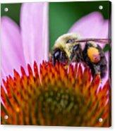 Bumblebee On Coneflower Acrylic Print