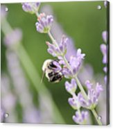 Bumblebee On The Lavender Field 2 Acrylic Print