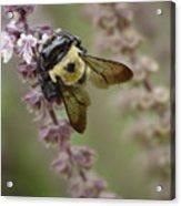Bumblebee Wings Acrylic Print