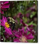 Bumbles In The Fall Acrylic Print