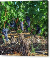 Bunch Of Grapes Acrylic Print