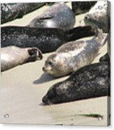 Bunch Of Harbor Seals Resting On A Beach Acrylic Print